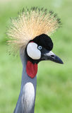 Crowned Crane Bird Look Stock Photos