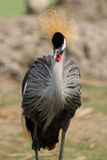 Crowned Crane bird in the opened zoo. Royalty Free Stock Image