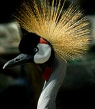 crowned crane bird Stock Image