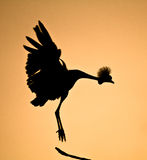Crowned Crane Bird Silhouette. Dramatic Sunset Silhouette of a Crowned Crane Bird Stock Image