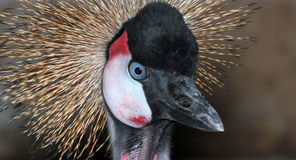 Crowned Crane Royalty Free Stock Photo