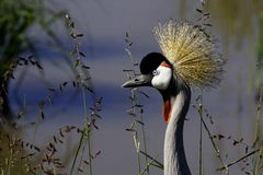 Crowned crane close-up, Masai Mara Stock Images