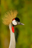 Crowned Crane closeup Royalty Free Stock Photography