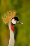 Crowned Crane closeup. Crowned Crane (Balearica pavonina) closeup Royalty Free Stock Photography