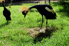 Crowned Crane. Couple crowned cranes guarding its nest Stock Images