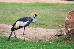 Crowned crane on grass Stock Photos