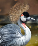 Crowned crane Royalty Free Stock Image