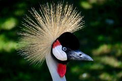 Crowned crane Stock Photos