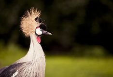 Crowned Crane headdress Royalty Free Stock Photo