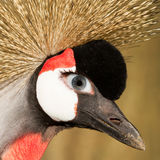 Crowned crane with a human eye Stock Photos