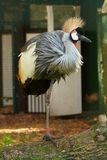 Crowned crane on the log. Beautiful crowned crane standing on the log Stock Photos