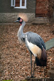 Crowned crane near the house. Beautiful crowned crane walking outdoor near huse Stock Image
