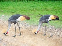 Crowned crane Stock Image