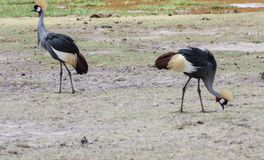 Crowned Crane Royalty Free Stock Images