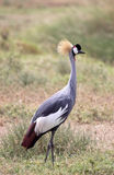 Crowned Crane - Portrait. Grey crowned crane in the scrubland of the Ngorongoro Crater, Tanzania Stock Photos