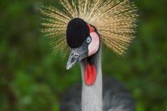 Crowned Crane Stock Photo