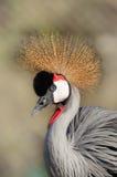 Crowned crane portrait. Close-up crowned crane portrait stock photos