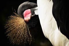 Crowned crane Royalty Free Stock Photos