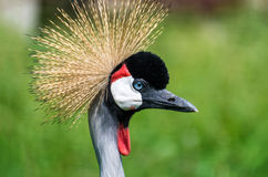Crowned crane Royalty Free Stock Photography