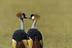 Crowned Crane in the savannah Royalty Free Stock Photography