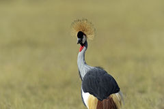 Crowned Crane in the savannah Stock Image