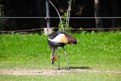 Crowned  Crane Seeking for Food in Grassland Royalty Free Stock Photo