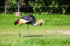 Crowned  Crane Seeking for Food in Grassland Royalty Free Stock Images