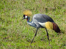 Crowned crane. In Serengeti National Park Royalty Free Stock Images