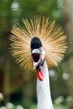 Crowned crane. Royalty Free Stock Images