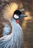 Crowned Crane in South Africa Stock Images