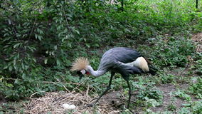 Crowned crane to sit on the nest,