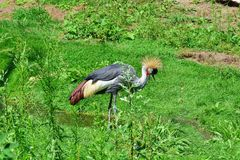 Netherlands. Safari. A crowned crane on a clearing... stock photos