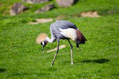 Crowned crane that walks in a green Royalty Free Stock Photography