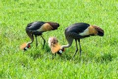 Crowned crane (balearica regulorum) in green savannah Stock Photos