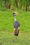 Crowned Crane at the Zoo Stock Photo