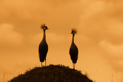 Crowned cranes. (Balearica regulorum) at sunrise Royalty Free Stock Photography