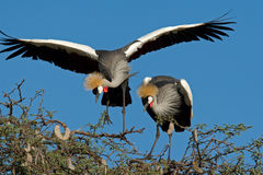 Crowned cranes Royalty Free Stock Image