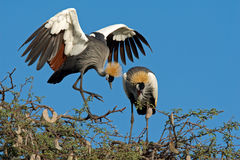 Crowned cranes Stock Photos