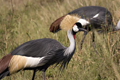 Crowned cranes Royalty Free Stock Photo