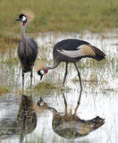 Crowned cranes Stock Image