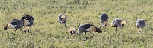 Crowned cranes Royalty Free Stock Photos
