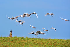 Crowned cranes and breeder Stock Photography