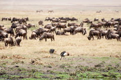 Crowned cranes and buffalo herd. Stock Photos
