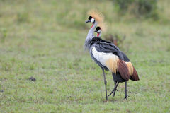 Crowned-Cranes courtship Stock Image
