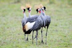 Crowned-Cranes courtship. Four Grey Crowned-Cranes in courtship dancing Royalty Free Stock Photos