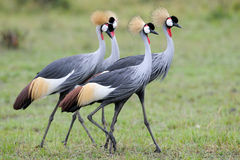 Crowned-Cranes courtship Royalty Free Stock Photos