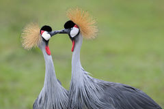 Crowned-Cranes courtship. Two Grey Crowned Cranes at courtship Royalty Free Stock Photography