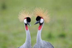 Crowned-Cranes courtship. Two Grey Crowned-Cranes Royalty Free Stock Photography