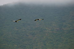 Crowned Cranes in Flight Royalty Free Stock Image
