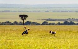 Crowned-Cranes group in Masai Mara Royalty Free Stock Photo